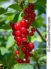 branch of ripe red currant in a garden. Macro picture.