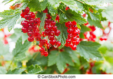branch of ripe red currant in a garden