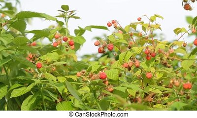 Branch of ripe red raspberry in sunny day