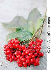 branch of ripe viburnum