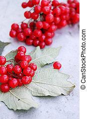 ripe viburnum