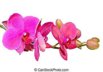 Branch of romantic beautiful violet orchids flower