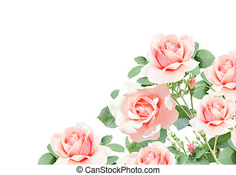 Branch of rose with pink flowers