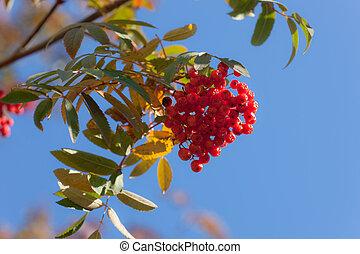 Branch of rowan tree