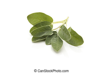 Branch of Sage with Leaves Isolated on White Background