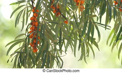 sea buckthorn berries - branch of sea buckthorn berries