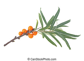 Branch of sea buckthorn berries with leaves isolated on a white background