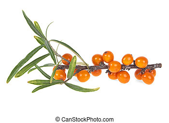 Branch of sea buckthorn berries with leaves on a white background