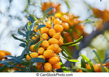 Branch of sea buckthorn on a background sky