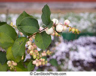 branch of snowberry in the foreground