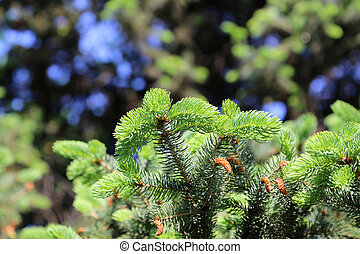 Branch of spring coniferous tree with fresh sprouts
