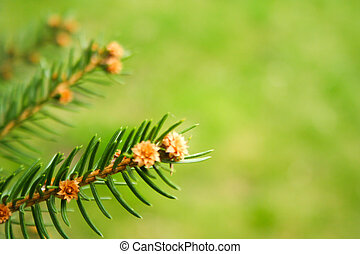 Branch of spruce on a green background.
