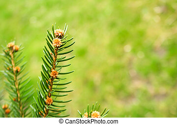 Branch of spruce on a green background. Spring time in the park.