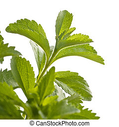 branch of stevia rebaudiana plant, for an angle of page, green design, white background