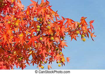 Branch of sweetgum with autumn leaves and fruits against the sky
