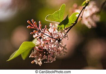 Branch of syringa