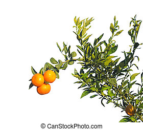 Branch of tangerine tree on white background