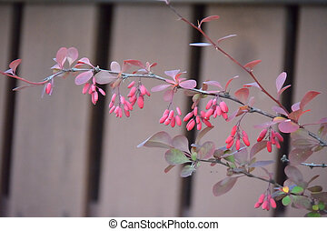 Branch of the barberries on the fence