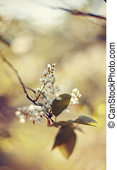Branch of the blossoming bird cherry