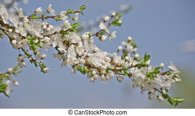 Branch of the blossoming cherry against the sky