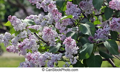 Branch of the blossoming lilac, on a background there are people