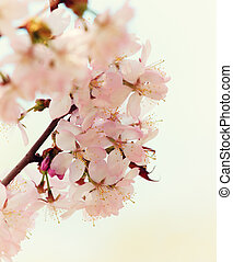 Branch of the blossoming Oriental cherry sakura close up