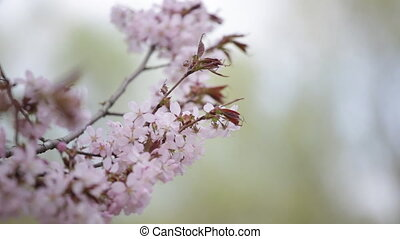 Branch of the blossoming sakura with pink flowers close up
