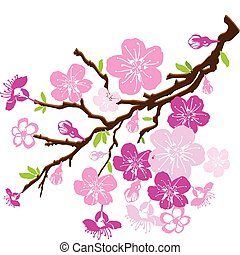 branch of the cherry blossoms isolated on white background