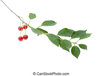 Branch of the cherry with berries