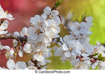 Branch of the flowering apricot tree on a blurred background