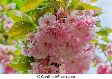 Branch of the flowering cherry blossom close-up