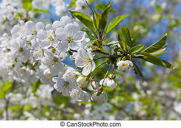 Branch of the flowering cherry tree on a blurred background