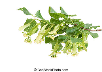 Branch of the flowering linden on a light background