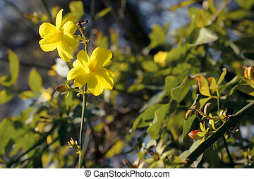 Branch of the Japanese jasmine bush with yellow flowers ...