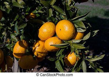 Branch of the orange