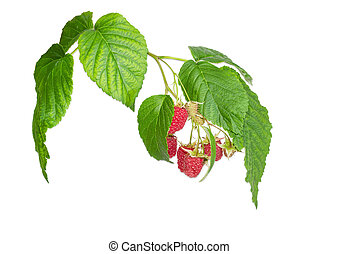 Branch of the raspberries with berries