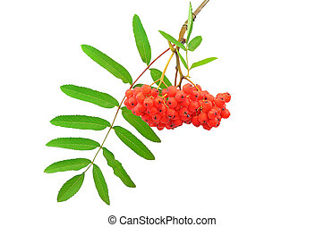 Branch of the rowan berries