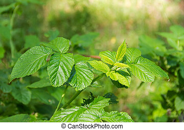 Branch of the wild raspberry in forest on blurred background
