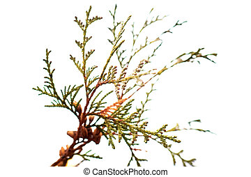 Branch of thuja with water drops on a white background
