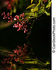 Branch of tiny syringa flowers in spring with reflection