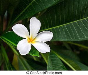 Branch of tropical flower frangipani