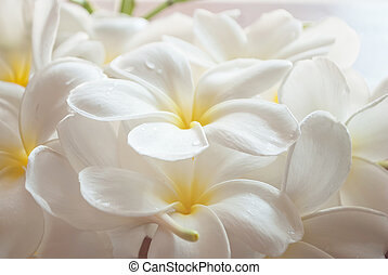branch of tropical flowers frangipani (plumeria),