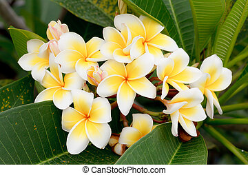 Branch of tropical flowers frangipani (plumeria), Thailand
