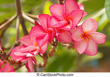 Branch of tropical pink flowers frangipani plumeria on dark green branch of tropical pink flowers frangipani plumeria mightylinksfo