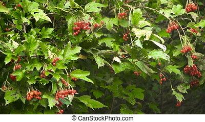 Branch of viburnum berries. - Viburnum (viburnum opulus)...
