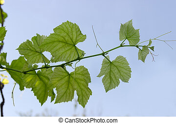 Branch of vine with young leaves against the clear sky