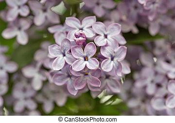 branch of violet lilac