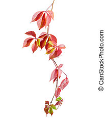 Branch of Virginia creeper with autumn leaves on white background