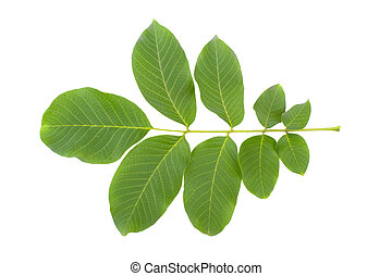 branch of walnut with leaves isolated on white background