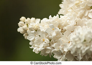 Branch of white lilac. Floral natural background